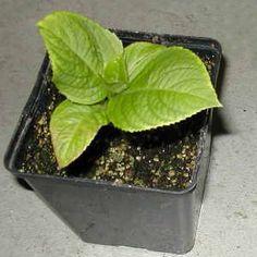 Vše co se týká hortenzie(pěstování, zazimování, množení). Množení Hortenzií provádějte řízkováním! V březnu až dubnu se hortenzie množí řízkováním. Řízky z nekvetoucích maldých kořenových výhonů zasaďte do směsi z rašeliny a písku v poměru 1:1. Teplota prostředí k množení by měla dosahovat patnácti až osmnácti stupňů Celsia. Zakoření přibližně za tři týdny.