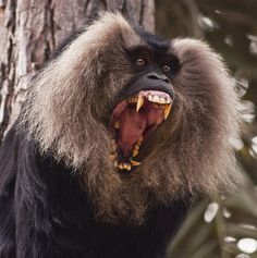 Lion-tailed Macaque - it ranks among the world's rarest and most endangered primate.  Look at those choppers!!