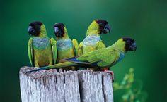 Periquito-príncipe-negro (Aratinga nenday): vive em todos os biomas. Os periquitos, ou psitacídeos, podem ser encontrados em todo o território brasileiro em bandos e fazendo grande estardalhaço e gritaria por onde passam.