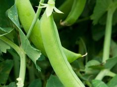 A guide to growing peas and broad beans