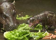 My Favorite Animal...Hippo