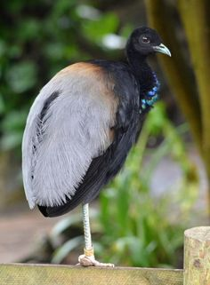 An adult Grey-Winged Trumpeter