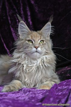Maine Coon of Superbia - Girls - Superbias Escada http://www.mainecoonguide.com/maine-coon-vs-norwegian-forest-cat/