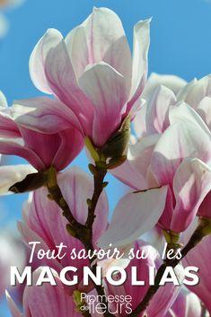 Découvrez tout ce qu'il faut savoir sur le magnolias : espèces, variétés, culture, taille #jardinage #jardin #magnolia
