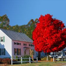 3 Trees for Fall Color: Autumn Blaze Maple is Not the Only Crayon in the Box - Square Pennies