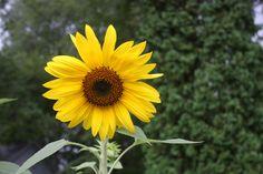 https://flic.kr/p/guEQj5 | Sunflower | '아들 딸 조건없는 진정한 사랑으로 키우세 그리고 인성교육은 이렇게' 부모, 소아과 전문의, 의학도, 간호학 학도, 모든 초등 학교 교사들은 물론이고 모든 분들이 적어도 한번 정도 읽어야할 최신 육아 바이블   부모도 반의사가 되어야 한다 www.koreapediatrics.com