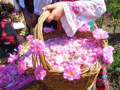 The Beautiful Aromatic Bulgarian Rose Harvest
