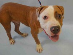 BISCOTTI – A1085456 MALE, TAN / WHITE, AM PIT BULL TER / AMERICAN STAFF, 1 yr, 6 mos STRAY – STRAY WAIT, NO HOLD Reason STRAY Intake condition EXAM REQ Intake Date 08/15/2016, From NY 10473, DueOut Date 08/18/2016,