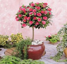 Camellia Tree Standard - Pink Flowering Spring Festival Camellia Tree - Trees for Containers - Shrubs & Trees - Garden Plants Patio Plants, Outdoor Plants, Large Flowers, Colorful Flowers, Camelia Tree, Camellia Japonica, Plantas Bonsai, Rose Trees, Vegetable Garden