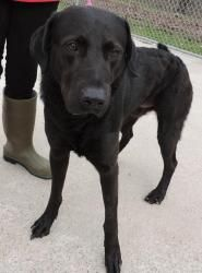 Chet: Black Labrador Retriever, Dog; Canastota, NY