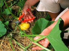 Comment procéder à la taille de la courge et du potiron en été pour obtenir de beaux légumes et éviter qu'ils ne se développent de trop.