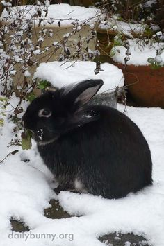 Bunny can always find something to nibble, even in the snow - December 23, 2017