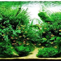 Gorgeously green tank! What a lovely division of ground cover and sand.