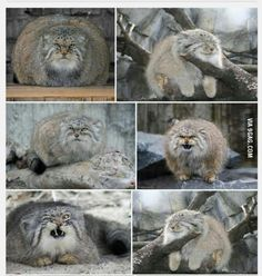 "Having a bad day? Just google ""Pallas cat"", made me laugh instantly"
