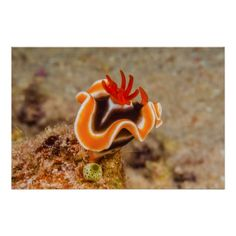 This poster features a Chromodoris Magnifica nudibranch characterized by orange mantle, thin white stripes, dark blue centre and the reddish, orange gills. The photo was taken on Australia's Great Barrier Reef. #coral #reef #ocean #sea #diver #underwater #greatbarrierreef #coralsea #coralreef #nudibranch