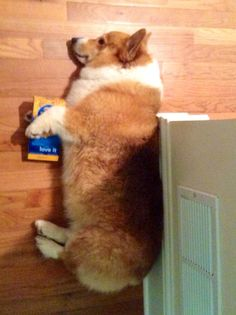 Corgi fuzzy from his bath - the promise of a treat though, he may need some help getting it out of the bag.