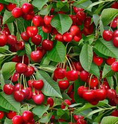 Cherry Fruit, Cherry Tree, Fresh Fruit, Berry Good, Patchwork Fabric, Summer Fruit, Food Festival, Fruit Trees, Raised Beds