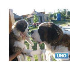 VENDO CACHORROS SAN BERNARDOS EN MZA UNICOS http://maipu-mendoza.anunico.com.ar/aviso-de/animales_mascotas/vendo_cachorros_san_bernardos_en_mza_unicos-8406180.html