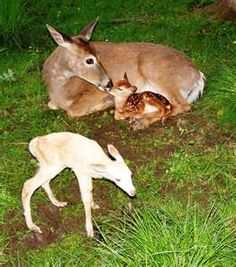 albino whitetail deer fawn