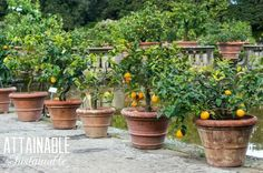Urban fruit! Edible landscaping is great for city gardeners. Grow fruit trees in containers or as part of your front yard landscape.