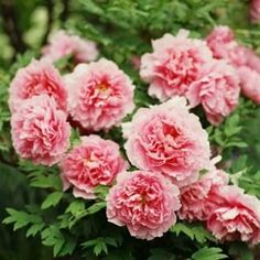 Peonies have been enriched with symbolism and meaning from ancient times. They were regarded as the symbol of well-being, wealth, elegance, luck and happiness. Another source says peonies symbolize happy marriage