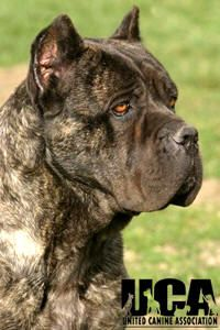 Cane Corso Breed Information and Pictures - United Canine Association