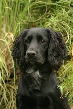 "Exceptional ""Spaniel pups"" detail is available on our internet site. Have a look and you wont be sorry you did. Cocker Spaniel Mix, Spaniel Puppies, Dogs And Puppies, Working Spaniel, Sprocker Spaniel, Field Spaniel, Working Cocker, Dog Shots, Spaniel Breeds"