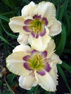 Daylilies from sadmoy.ru