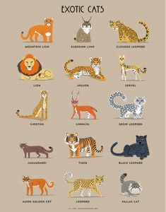Pallas's Cat, Cat Vs Dog, Eurasian Lynx, Lynx Lynx, Serval Cats, Siamese Cats, Herding Cats, Clouded Leopard, Exotic Cats