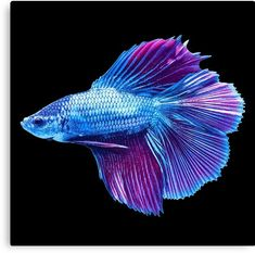 Shop Petco's live pet fish store for a selection of brightly colored saltwater & freshwater aquarium fish. Find your live fish, inverts, coral & more here. Betta Aquarium, Betta Fish Toys, Betta Fish Care, Pretty Fish, Beautiful Fish, Colorful Fish, Tropical Fish, Betta Fish Tattoo, Fish Fin