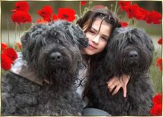 Bouvier des Flandres Puppies Breeders Des Flandres