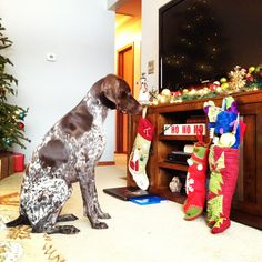 Bella waiting patiently. German Shorthaired Pointer