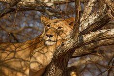 Tanzania - Image Source/Rex/Shutterstock #BigCatFamily