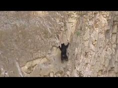 Rock Climbing Bears! rarely caught on cam ; ) endangered Mexican Black Bears in Santa Elena Canyon, Big Bend National Park, TX 2014-03 filmed by Stephanie Latimer