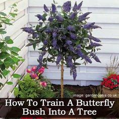 How To Train A Butterfly Bush Into A Tree