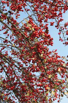 Crataegus Tree 3 :: Free Pictures, Free Photos and Free Images Pictures Online, Free Pictures, Free Images, Enjoy It, Friend Photos, Dream Garden, Wonderful Time, Beautiful Pictures, Autumn