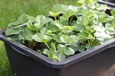 Hochbeet im Mörtelkasten anlegen - Erdbeeren, Tomaten, Kräuter und Blumen im Hochbeet pflanzen