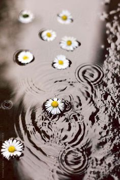 Daisies in the puddle by Emoke Szabo is part of Sunflower wallpaper - Sunflowers And Daisies, Love Flowers, Beautiful Flowers, Iphone Backgrounds Tumblr, Flower Backgrounds, Creative Photography, Nature Photography, Daisy Love, Sunflower Wallpaper