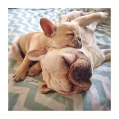 Baby French Bulldog using her Dad as a Pillow.