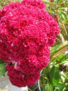 100 Giant Cockscombs Flower Seeds-1024. $1.99, via Etsy.