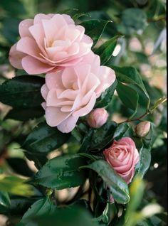 Camelia (De Camellia is een traaggroeiende plant. Familie van de theeplant. Winterhardheid: Matig. Grondsoort: Zuur. Matig tot vochtig. Zon tot halfschaduw. Hoogte: 1-2 meter. Wintergroen. Bloemkleur: Roze. Bloeitijd: Maart - Mei).