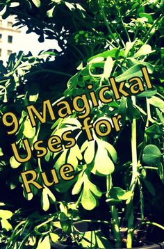 9 magickal uses for rue photo by Lilith Dorsey. All rights reserved.