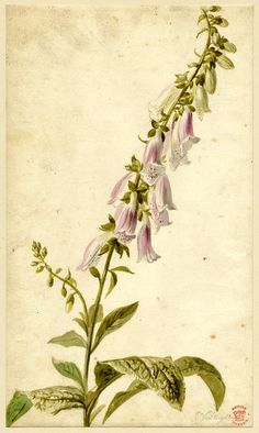 Flower study, formerly in an album; a Foxglove, pale pink and white Watercolour, over graphite: Jan van Huysum Vintage Botanical Prints, Botanical Drawings, Botanical Illustration, Botanical Flowers, Botanical Art, Städel Museum, Illustration Botanique, Science Illustration, Fruit Art