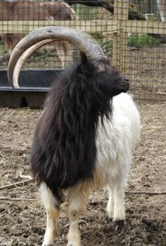 kiko goat - Google Search | Kiko Goats | Pinterest | Goats ...