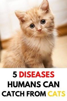 Some diseases can be transmitted from cats to humans. Here are some diseases you could potentially catch from your cat Cat Care Tips, Pet Care, Cute Cats, Funny Cats, Cat Diseases, I Go Crazy, Cat Health, Health Tips, All About Cats