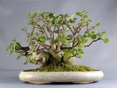 Plectranthus / miniature jade plant