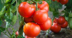 Tui Garden | Top Tips for Bumper Tomatoes