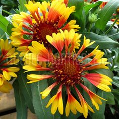 image de Gaillardia Lucky Wheeler Horticulture, Planting Flowers, Beautiful Flowers, Photos, Dimensions, Nature, Image, Gardens, Artificial Flowers