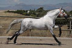 galloping grey....love his black stockings.  www.goldenrabbitsaddlery.com