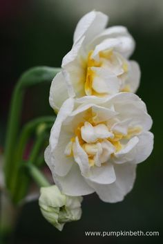 Narcissus 'Bridal Crown' is a double daffodil from division 4 of the Daffodil…